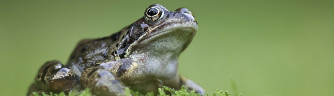 Green Common Frog from the side view.